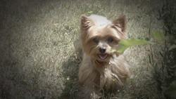 Olga, chien Yorkshire Terrier