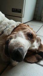 Olga, chien Basset Hound