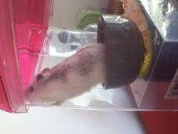 Olga, rongeur Hamster