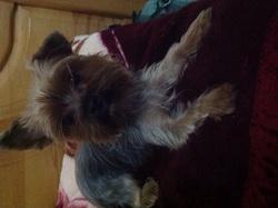 Olgajr, chien Yorkshire Terrier