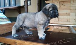 Oliva, chien Mâtin espagnol