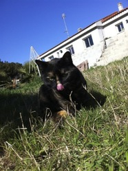 Oliva, chat Européen