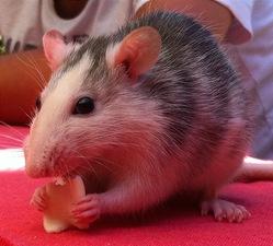 Olive, rongeur Rat