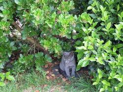 Olive, chat Européen