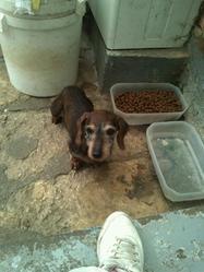 Olive, chien Teckel