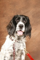 Oliver, chien Springer anglais