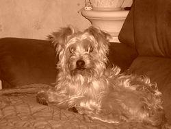 Oliver, chien Yorkshire Terrier