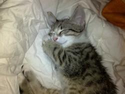Oliver - Ataxie Cerebelleuse, chat Gouttière