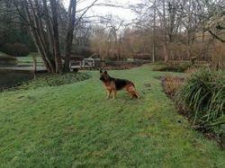Olivia, chien Berger allemand