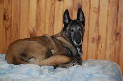 Olla De La Cathyane, chien Berger belge
