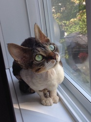 Ollie, chat Devon Rex