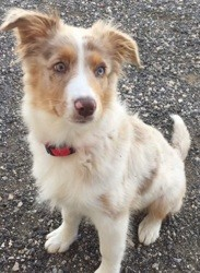 Ollie, chien Berger australien