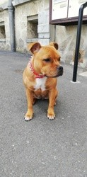 Ollie, chiot American Staffordshire Terrier