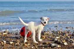 Ollie, chien Parson Russell Terrier