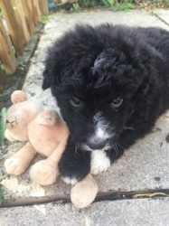 Ollier, chiot Border Collie