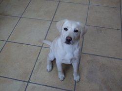 Olya, chien Labrador Retriever