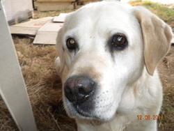 Olympe, chien Labrador Retriever