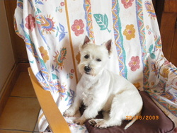 Olympe, chien West Highland White Terrier