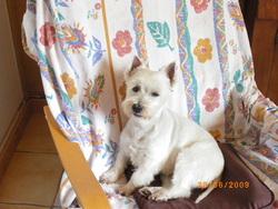 Olympe, chien West Highland White Terrier