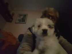 Olympe, chien Bichon maltais