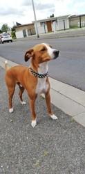 Olympe, chien Jack Russell Terrier