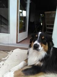 Olynn, chien Berger australien