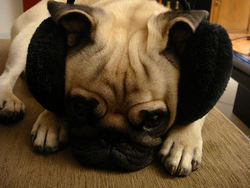 Olys, chien Carlin