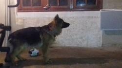 Oméga, chien Berger allemand
