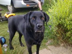 Oma, chien Labrador Retriever