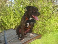 Oman, chien American Staffordshire Terrier