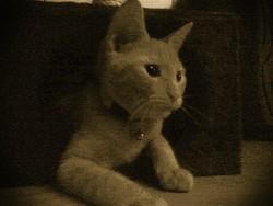 Oméga, chat Européen