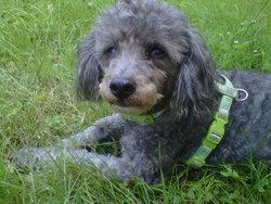 Omer, chien Caniche