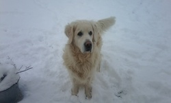Omer, chien Golden Retriever