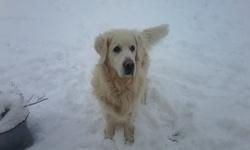Omer, chien Golden Retriever