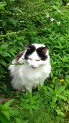Omer, chat Maine Coon