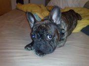 Oneill, chien Bouledogue français