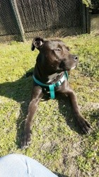 Only, chien Staffordshire Bull Terrier