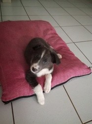 Only, chiot Border Collie