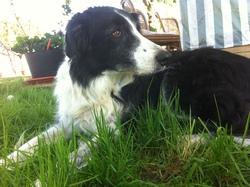 Onyx, chien Border Collie
