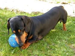 Onyx, chien Teckel