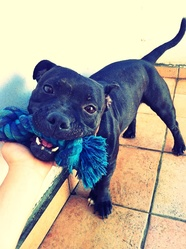 Onyx, chien Staffordshire Bull Terrier