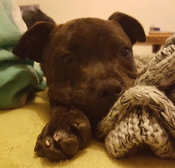 Onyx, chiot Staffordshire Bull Terrier