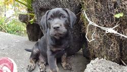 Onyx, chien Labrador Retriever