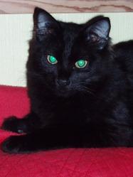 Onyx , chat Européen
