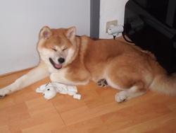 Ookami, chien Akita Inu