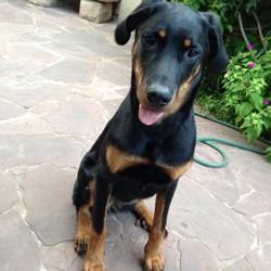 Oona Des Fiers Marchaflots, chien Beauceron