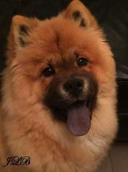 Oozoo, chien Chow-Chow