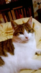 Opale, chat Européen