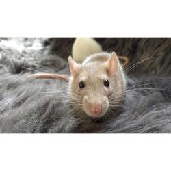 Opale, rongeur Rat