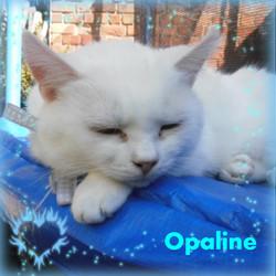 Opaline, chat Européen